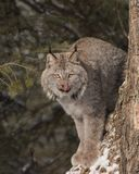 Canada Lynx licking his chops. Canada Lynx perched in his favorite tree, licking his chops. Lynx canadensis Stock Images