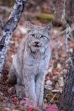 Canada Lynx sauvage Photographie stock libre de droits