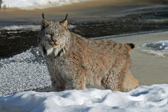 Canada Lynx in the Snow. Beautiful Canada Lynx standing watchfully on a snowy riverbank Stock Photo