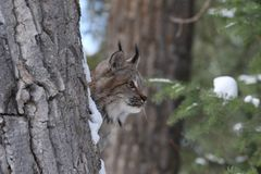Canada lynx. In a tree Stock Image