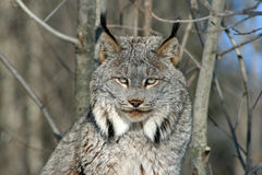 Canada Lynx in the Winter Royalty Free Stock Photos