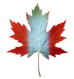 Canada Maple Leaf. With the canadian flag colors painted on the fall foliage as a symbol of nature and pride for the North American country isolate on white