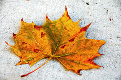 Canada Maple Leaf Fall Season Stock Photo