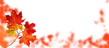 Canada maple tree autumn branch isolated on white. Canada maple tree branch with red autumn leaves on the fall blurred park horizontal background isolated on royalty free stock photos