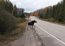 Canada Moose. One of nature's many beautiful animals Stock Photography