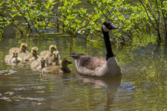 Canada Mother Goose and Gosling Babies Stock Image