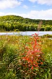 Canada - near Mont Tremblant, wild flower. One of many lakes and hills in Canada - stretching endlessly into the giant country Royalty Free Stock Image