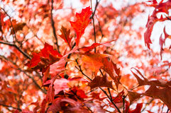 Canada red Maple leaves in  Autumn Stock Photos
