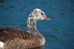 Canada Snow Goose Stock Photos