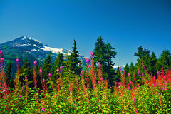 Canada summer mountains snow flowers pink trees Royalty Free Stock Photo