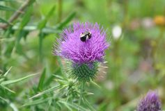 Canada Thistle Stock Images