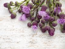 Canada thistle weed flowers Stock Image