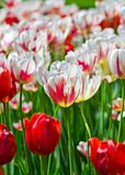 Canada 150 Tulip also known as the Maple Leaf Tulip Stock Image
