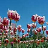 Canada 150 tulips Royalty Free Stock Photography