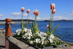 Canada 150 tulips. Seaside planter featuring Canada 150 tulips Royalty Free Stock Photos