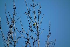 canada warbler Zdjęcie Stock