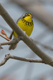 Canada Warbler Royalty Free Stock Image