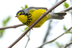 Canada Warbler Stock Photography