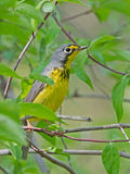 Canada Warbler profile pose with greenery Stock Photos