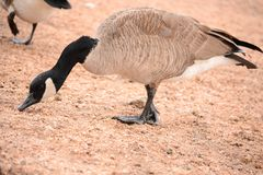Portrait of a Canada Goose, Branta canadensis,. Canadan Goose, Canada Goose, Branta canadensis, at Granite Springs Reservoir, Curt Gowdy State Park, migratory royalty free stock photo