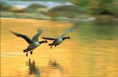 πτήση canadas Στοκ φωτογραφίες με δικαίωμα ελεύθερης χρήσης