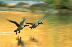 Canadas In Flight Royalty Free Stock Photos
