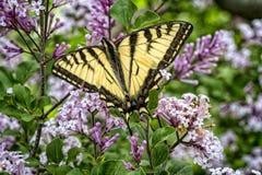 Canadense Tiger Swallowtail Butterfly fotos de stock royalty free