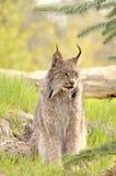canadensis смотря право lynx стоковая фотография