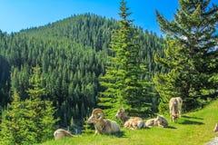 Canadensis d'Ovis de mouflons d'Amérique détendant sur un flanc de coteau, Na de Banff photo stock