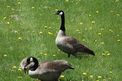 Canadensis de los gansos y del Gosling-Branta de Canadá fotografía de archivo libre de regalías