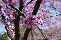 Canadensis de polinización del cercis de la abeja en primavera Fotos de archivo