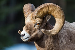 Canadensis de Rocky Mountain Bighorn Sheep Ovis fotografía de archivo