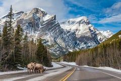 Canadensis de Rocky Mountain Bighorn Sheep Ovis Image libre de droits