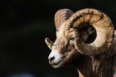 Canadensis de Rocky Mountain Bighorn Sheep Ovis Photographie stock