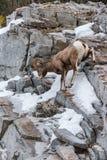 Canadensis de Rocky Mountain Bighorn Sheep Ovis Photos libres de droits