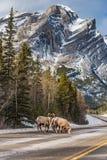 Canadensis de Rocky Mountain Bighorn Sheep Ovis Photo stock