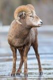 Canadensis de Rocky Mountain Bighorn Sheep Ovis Image stock