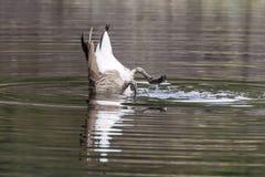 Canadensis del Branta del ganso de Canad? imagenes de archivo