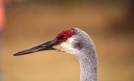 Canadensis di gru dell'uccello della gru di Sandhill Fotografie Stock Libere da Diritti