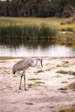 Canadensis di gru dell'uccello della gru di Sandhill Immagine Stock Libera da Diritti