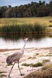 Canadensis di gru dell'uccello della gru di Sandhill Fotografia Stock