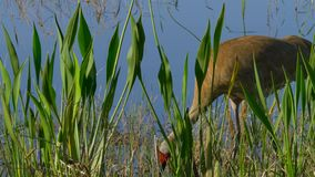 Canadensis di Sandhill Crane Grus - Florida video d archivio
