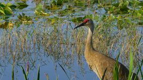 Canadensis di Sandhill Crane Grus - Florida stock footage