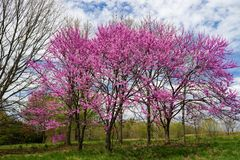 """Canadensis för Cercis för östlig Redbud träd†"""" arkivbilder"""