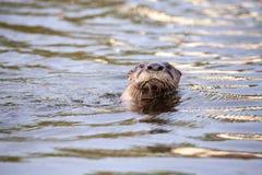 Canadensis juvénile de Lontra de loutre de rivière dans un étang photos stock
