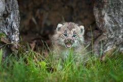 Canadensis Kitten Cries Behind Grass för lodjur för Kanada lodjur Arkivbilder