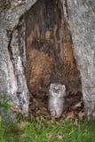 Canadensis Kitten Looks Out för lodjur för Kanada lodjur från ihåligt träd Arkivfoto