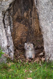 Canadensis Kitten Mouth Open för lodjur för Kanada lodjur Arkivfoto