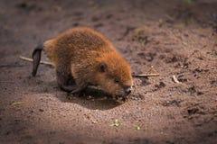 Canadensis norteamericano Kit Runs Across Sand del echador del castor foto de archivo
