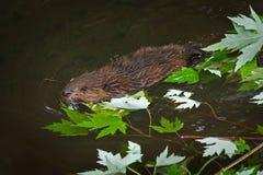 Canadensis norteamericano Kit Swims Past Leaves del echador del castor fotografía de archivo